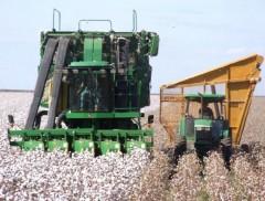 Preço do algodão segue em queda, aponta Cepea