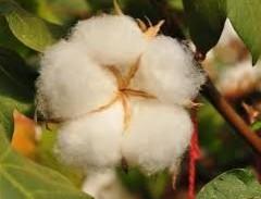 Cresce área de plantio de algodão global